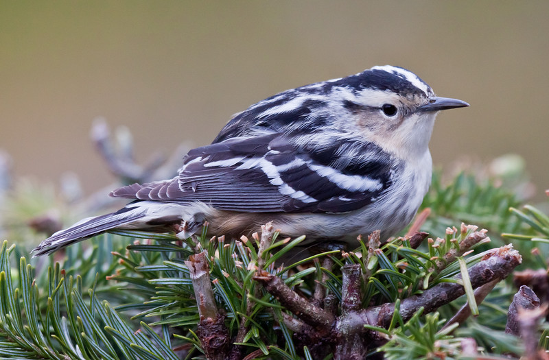 Black And White Warblers are migratory in Maine