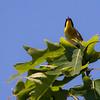 Yellow-throated warbler, male singing, Phippsburg Maine, June