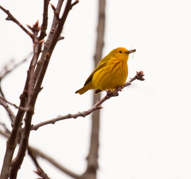 Yellow Warbler with beak full of bugs, migratory songbird in Phippsburg, Maine