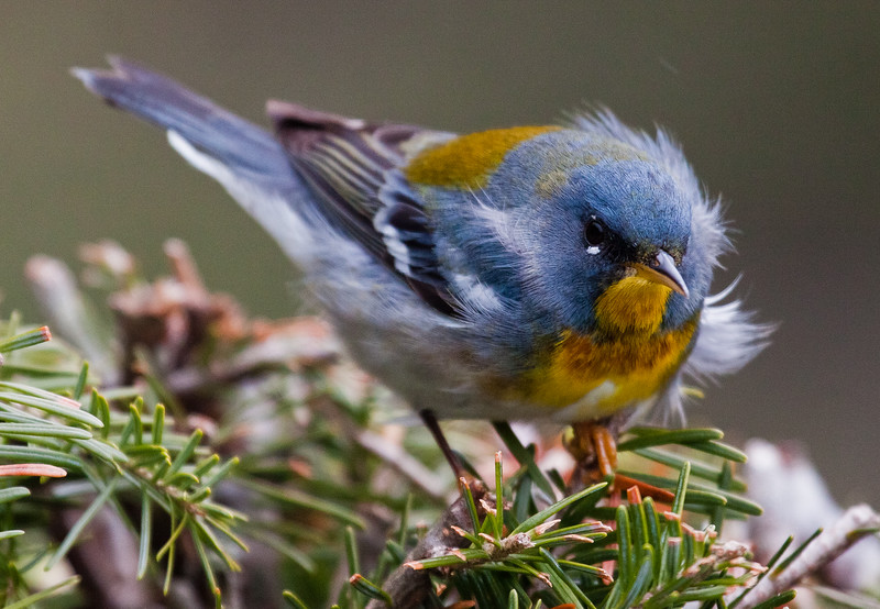Northern Parulas are migratory songbirds in Phippsburg, Maine