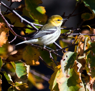 MAINE WARBLERS