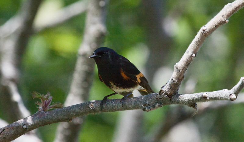 American redstart, Setophaga ruticilla, male perched, a colorful migratory songbird in Maine, Phippsburg, May