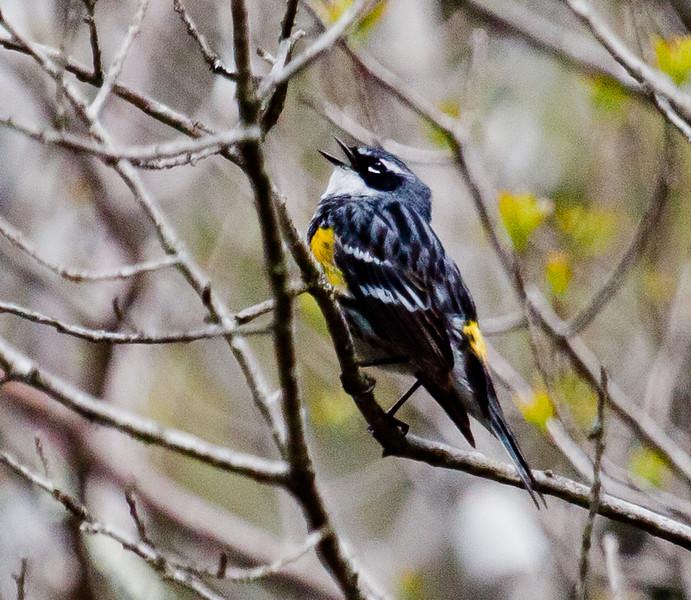 Yellow-rumped Warbler, Male Singing