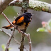 American Redstart, male, migratory songbird, Phippsburg, Maine