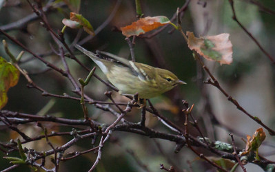 Blackpoll warblers during fall migration, Phippsburg Maine