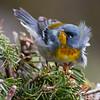 Northern Parula, Phippsburg, Maine migratory song bird.. Northern Parulas are migratory warblers in Maine..  Setophaga americana, Northern Parula is a migratory, songbird in Maine