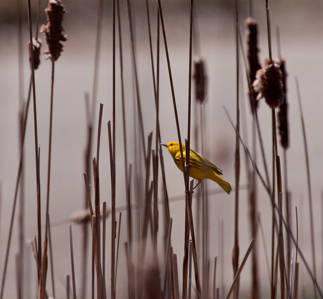 Yellow Warbler in Cat O'Ninetails, Phippsburg, Maine, spring