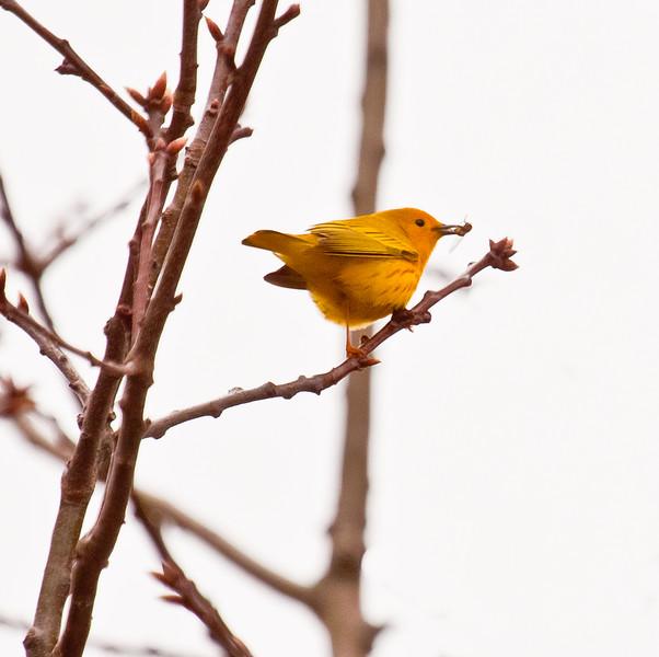 Yellow Warbler with beak full of bugs, migratory songbird in Phippsburg, Maine