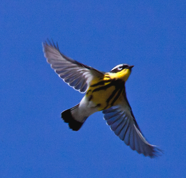 Magnolia warbler in flight, Phippsburg Maine spring Small Point