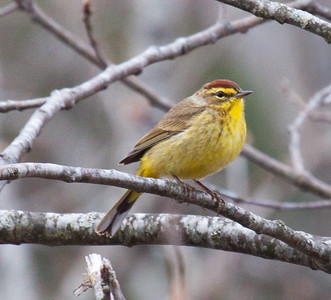 Palm Warblers are migratory in Phippsburg, Maine