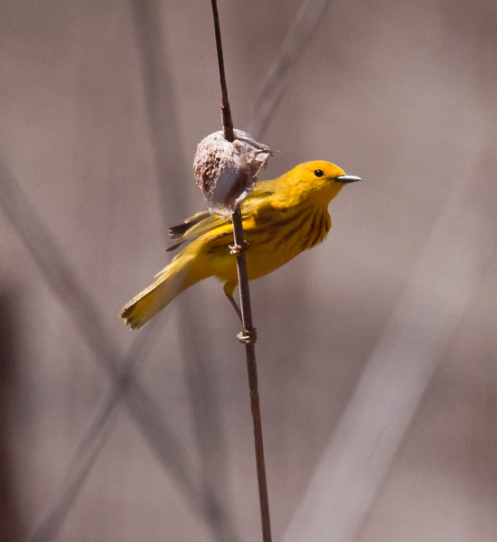 Yellow Warbler on spent Cat-O'Nine-tail, Phippsburg, Maine