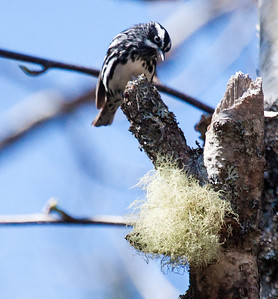 Black And White warblers are migratory in Maine. Black and White Warbler on Birch tree with Old Man's Beard lichen, Phippsburg, Maine. Mniotilta varia, Black And White warbler, is a migratory song bird in Maine, Phippsburg