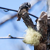 Black And White warblers are migratory in Maine. Black and White Warbler on Birch tree with Old Man's Beard lichen, Phippsburg, Maine. Mniotilta varia, Black And White warbler, is a migratory song bird in Maine, Phippsburg