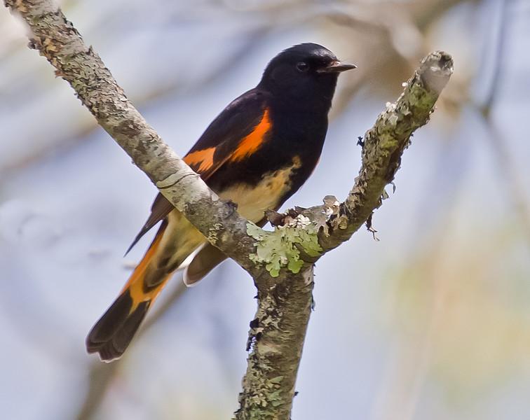 American Restart male, Phippsburg Maine, warbler, spring