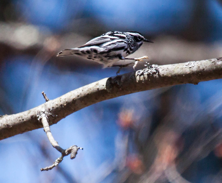 Black And White warblers are migratory in Maine. Black and White Warbler, Phippsburg, Maine. Mniotilta varia, Black And White warbler, is a migratory song bird in Maine, Phippsburg