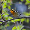 Blackburnian warbler singing, a migratory warbler in Maine. I photographed this one on Small Point, Phippsburg, Maine
