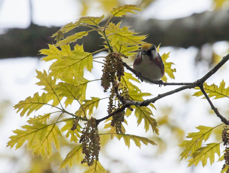 Chestnut Sided warbler, Phippsburg, Maine