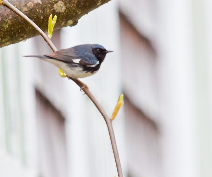 Black Throated Green Warbler, migratory songbird in Phippsburg, Maine