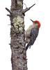 "For more on Red Bellied woodpeckers in Maine, see Bob Duschene's article here <a href=""http://bangordailynews.com/2012/02/24/outdoors/red-bellied-woodpecker-no-longer-rare-in-maine/"">http://bangordailynews.com/2012/02/24/outdoors/red-bellied-woodpecker-no-longer-rare-in-maine/</a>"