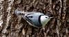 White Breasted Nuthatch, a small, tree creeping bird that eats insects from bark and also feeder seed, Phippsburg, Maine