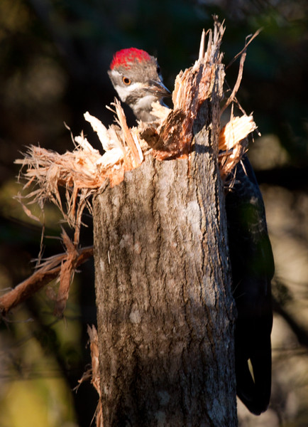 Pileated Woodpecker, female hammering for insects in Poplar tree