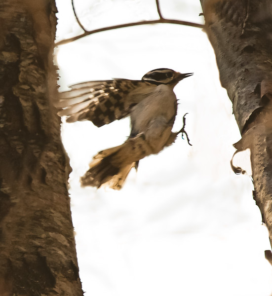 Hairy Woodpecker leaping from one tree to another, mid air, not exsactly flying, more like jumping! Maine