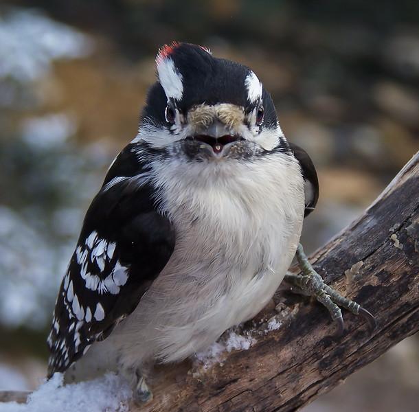 Downy Woodpecker, Male Maine