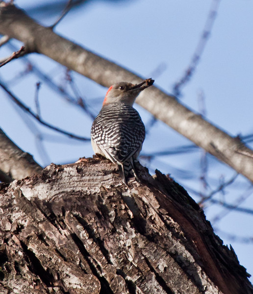 Red-bellied woodpecker with food, Brunswick, Maine