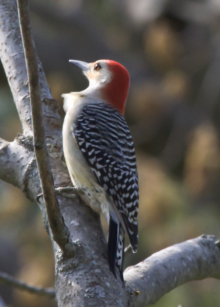 Red-bellied Woodpecker, Male Maine