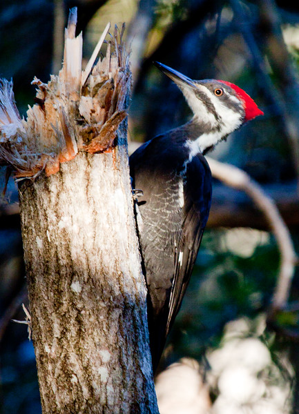 Pileated woodpecker, female, perched left facing, Poplar tree has been torn up by bird tearing wood fibers for insects, Hermit Island, Phippsburg, Maine