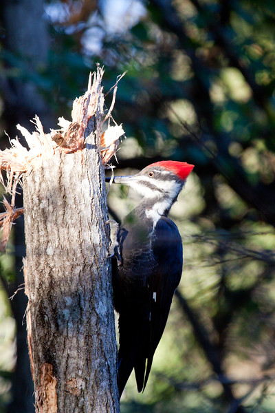 Pileated woodpecker, female, hammering Poplar tree for insects, Hermit Island, Phippsburg, Maine