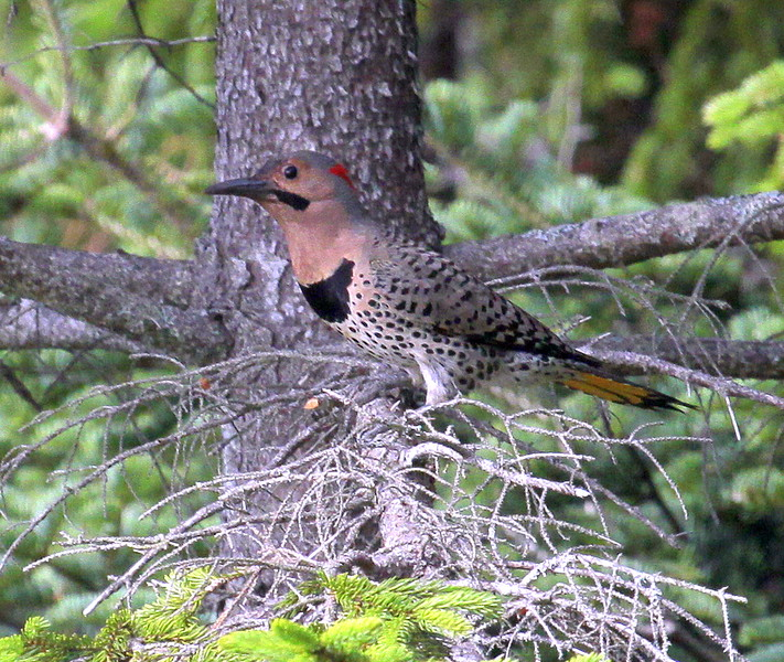 Northern Yellow-shafted Flicker Maine, a ground feeding woodpecker that is migratory in Maine, mostly depent on insects for foods
