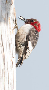 Red-headed Woodpecker (Melanerpes erythrocephalus), Bath, Maine in Febrary. This is a very rare bird to see in the winter in Maine. It was caching suet in the utility pole.