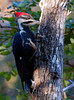 Pileated woodpecker, female eating insects from Poplar tree bark, Hermit Island, Phippsburg Maine