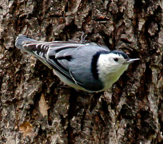 White Breasted Nuthatch, a small, tree creeping bird that eats insects from bark and also feeder seed, Phippsburg, Maine. Nuthatches aren't woodpeckers, though they do eat insects hiding in tree bark. They also like suet and sunflower seeds.