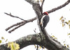 Red Bellied Woodpecker, Male, Phippsburg, Maine near Winnegance May 14, 2013