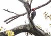 Red Bellied Woodpecker, Male, Phippsburg, Maine near Winnegance May 14, 2013