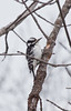 Downy woodpecker female working a hardwood branch. You can see clearly here the holes this small bird has drilled into the maple branch searching for insects. Maine's smallest woodpecker, Phippsburg, Maine