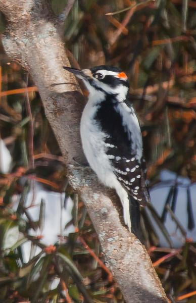 Hairy woodpecker, male, Phippsburg, Maine