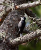Black-backed woodpecker, female, Phippsburg Maine