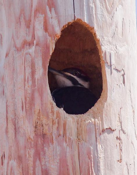 Pileated woodpecker in nest cavity, Hermit Island, Phippsburg, Maine