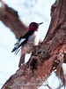 Red-headed Woodpecker, juvenile, male, Warren, Maine, Cushing Cemetery