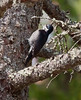 Black-backed Woodpecker, female, rare bird on coast of Maine, normally in boreal forest