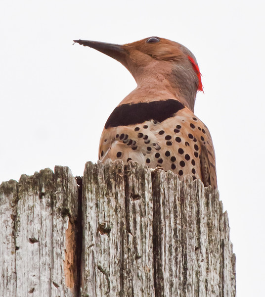 Yellow-Shafted Flicker Maine