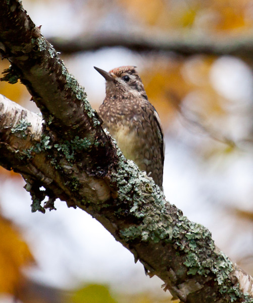 Yellow Bellied Sapsucker, female juvenile perched on Birch limb with lichen, Phippsburg Maine October