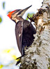 Pileated Woodpecker on Birch Maine