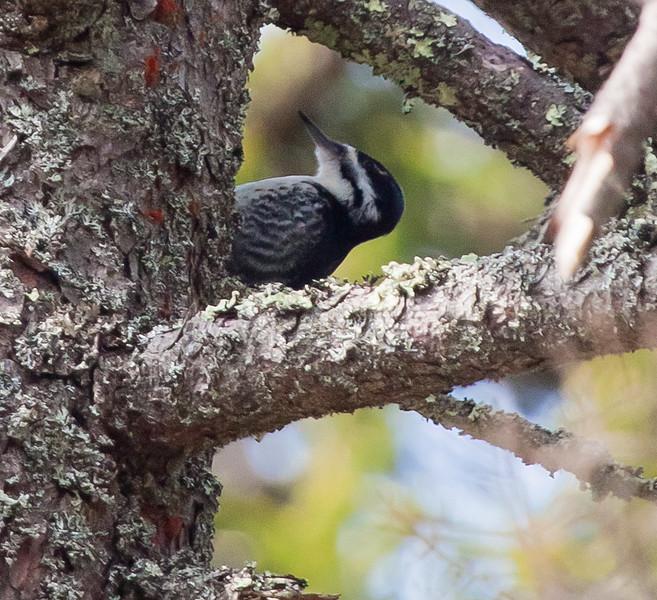 Black-backed woodpecker, female, Phippsburg, Maine