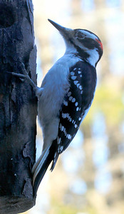 Hairy Woodpecker, Male Maine