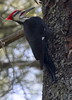Pileated Woodpecker Maine