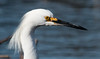 Snowy egret close up, April 21, 2014, Phippsburg, Maine